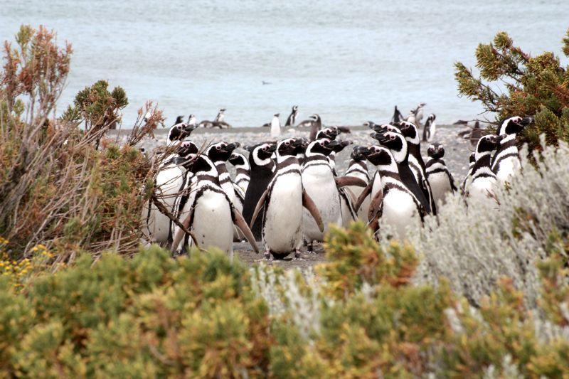 Pingüinos en Cabo Vírgenes.