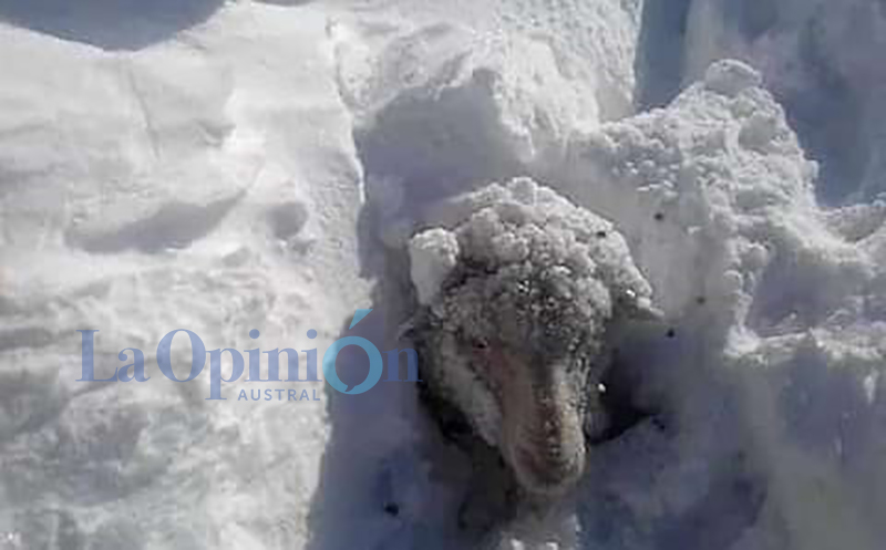 Hasta el momento el total es de 794 animales muertos por la nieve
