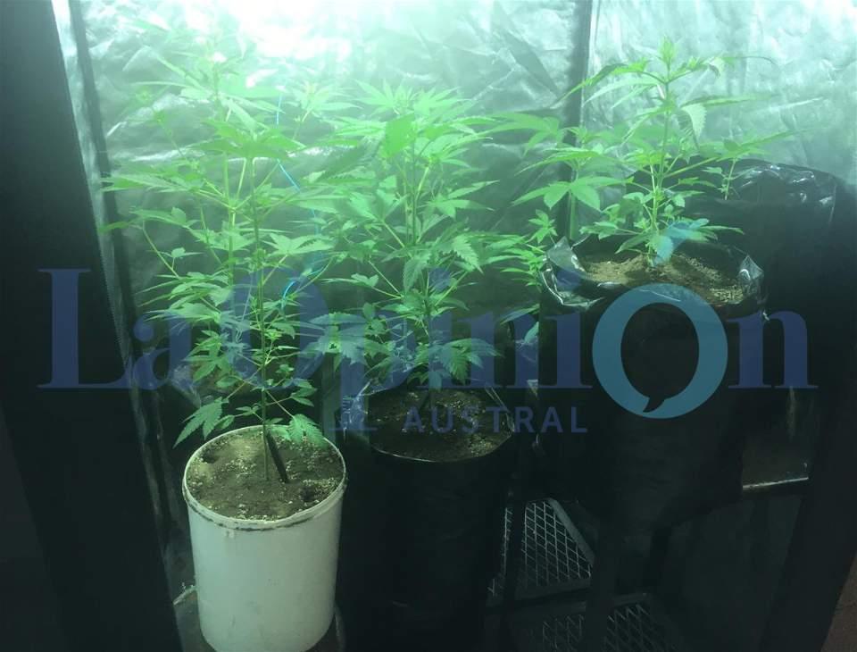 Las plantas de marihuana. La causa pasó al Juzgado Federal.